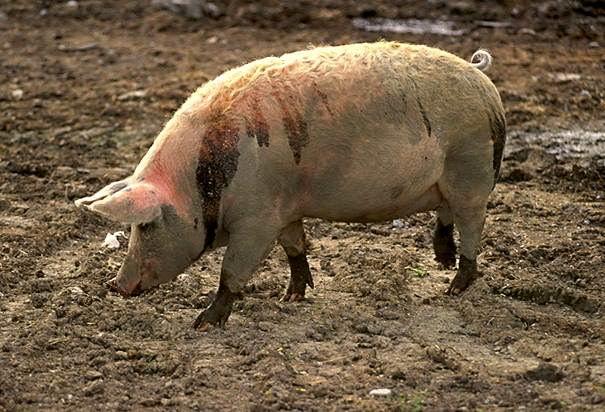 Самец свиньи секс